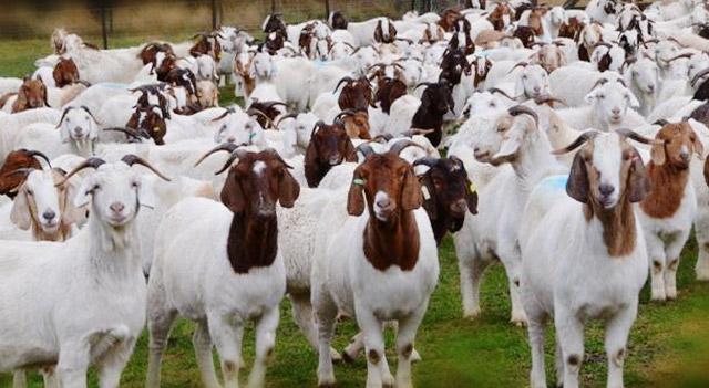 goat-herd-picture
